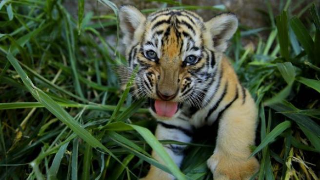 Uno de los cuatro tigres de Bengala cachorros, nacidos en cautiverio y considerados en peligro de extinción, será exhibidos junto a sus hermanos en la Fundación Refugio Salvaje (Furesa), en Jayaque (El Salvador).