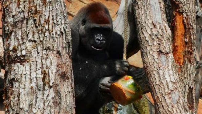 Un gorila con su helado en Bioparc