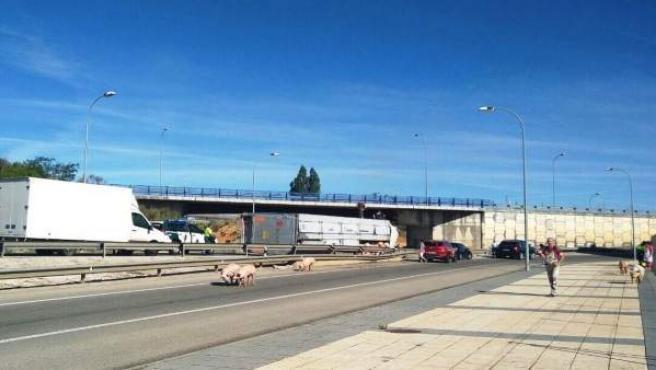 Soria.- Varios de los cerdos que viajaban en el camión