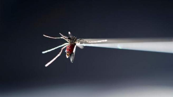 Mosquito Aedes aegypti zika