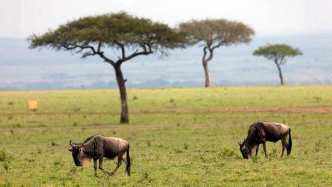 Ñus en la reserva de Maasai Mara.