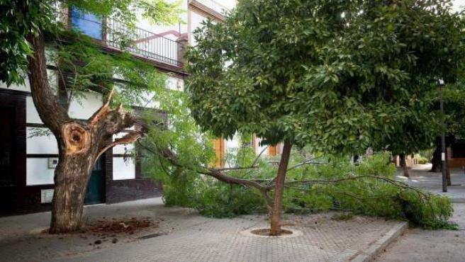 Rama caída en Sevilla.
