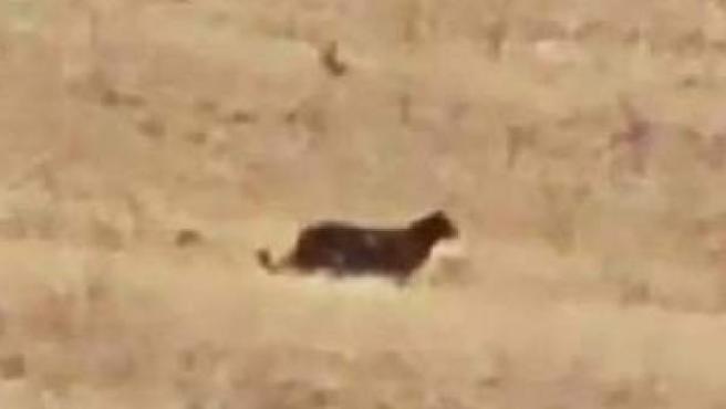 Captura del gran felino visto en varios pueblos de Guadalajara.