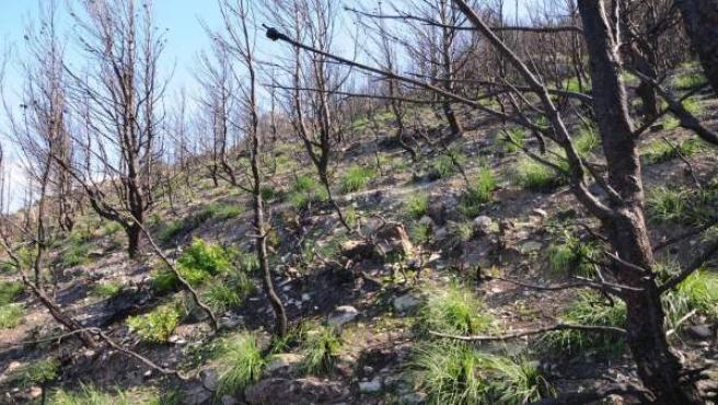 Hay gran cantidad de rebrotes de palmito y carrizo en la Serra de Tramuntana