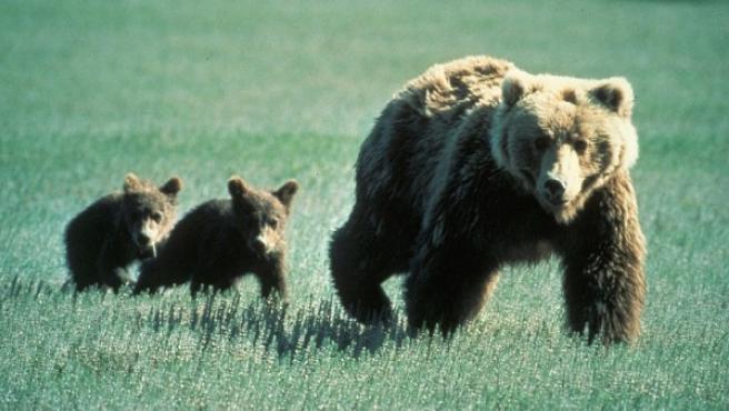 Imagen de una madre oso grizzly con sus cachorros