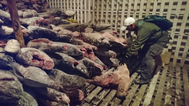 Algunos tiburones muertos a bordo de un buque de bandera china