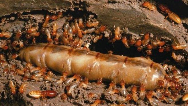 Estos insectos devoradores de madera pueden llegar a vivir hasta 50 años en el caso de las reinas. Si la termita es obrera, la vida será más corta, apenas 2 años.