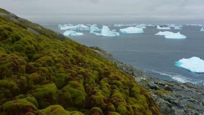 Crece la vegetación en la Antártida debido al cambio climático.