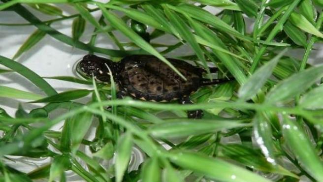 Cría de galápago europeo nacida en cautividad en el Acuario de Zaragoza
