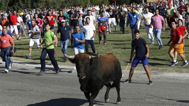 El festejo del Toro de la Vega, reconvertido en la suelta de un astado por el campo sin muerte en público, se ha celebrado este martes en Tordesillas (Valladolid), con un herido de gravedad al resultar corneado, en un festejo sin incidentes de orden público.