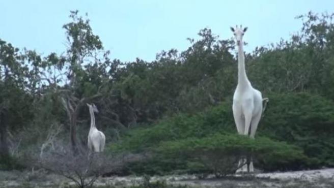 Fotograma de un vídeo en el que se puede observar dos ejemplares de jirafas con leucismo.