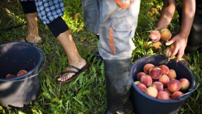 Jornaleros recolectan melocotones en una granja.