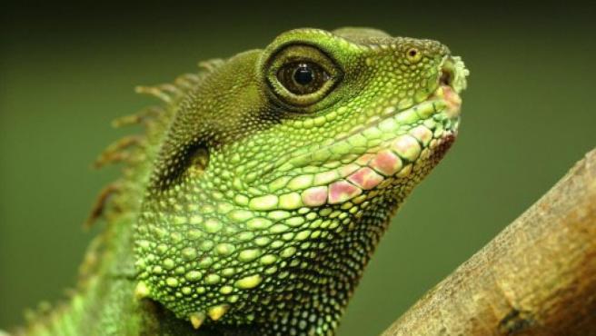 Ejemplar de iguana verde.