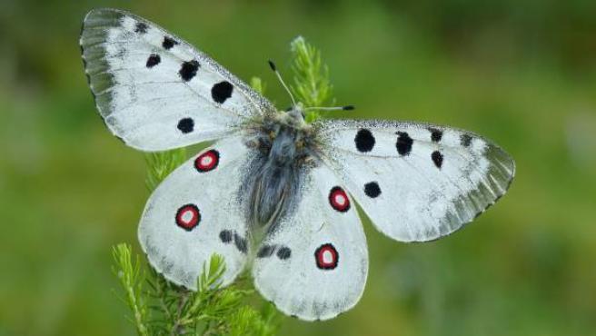 Ejemplar de mariposa.