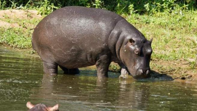 El hipopótamo es un animal semiacuático que habita en ríos y lagos, fundamentalmente en el África subsahariana.