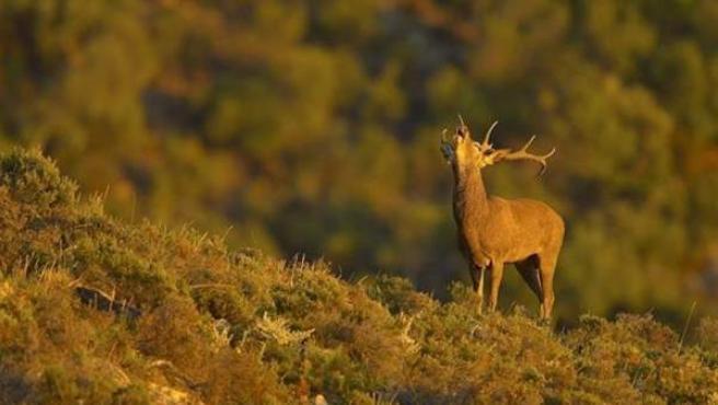 La berrea: los ciervos luchan por hacerse con su harén.