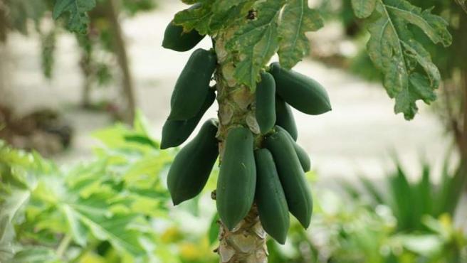 Es el fruto de la carica papaya, una planta arbustiva originaria de los bosques de Centroamérica y Sudamérica.