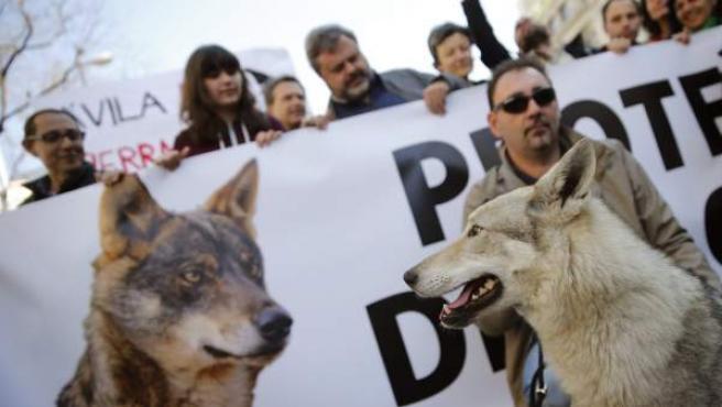 Momento de la manifestación 'Lobo vivo, lobo protegido' en Madrid.