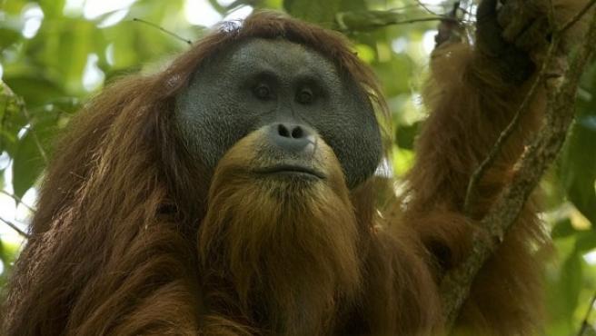 Orangután de Tapanuli descubierto al norte de la isla de Sumatra.
