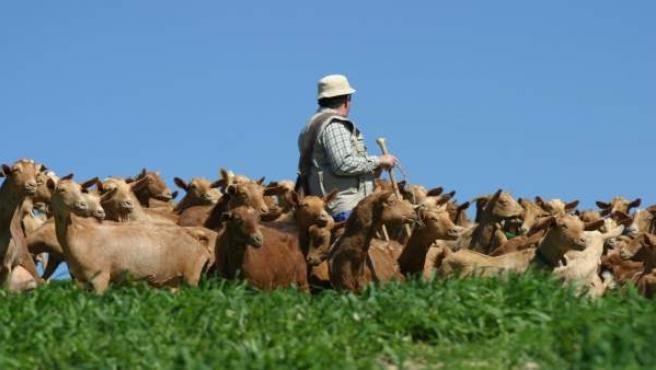 Cabras quesos málaga cabrero ganadero pastan pasto comida denominación origen