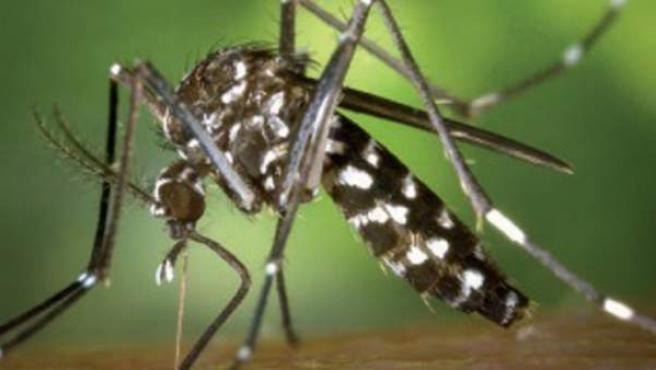 El mosquito tigre (Aedes albopictus) es una especie invasora procedente de Asia.