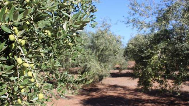 Una de las variedades de olivo presentes en Andalucía