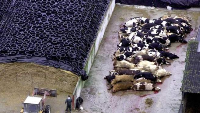 Vacas muertas esperando a ser incineradas en una granja de Francia en marzo de 2001. El mal de las vacas locas obligó a sacrificar a miles de cabezas de ganado en toda Europa.
