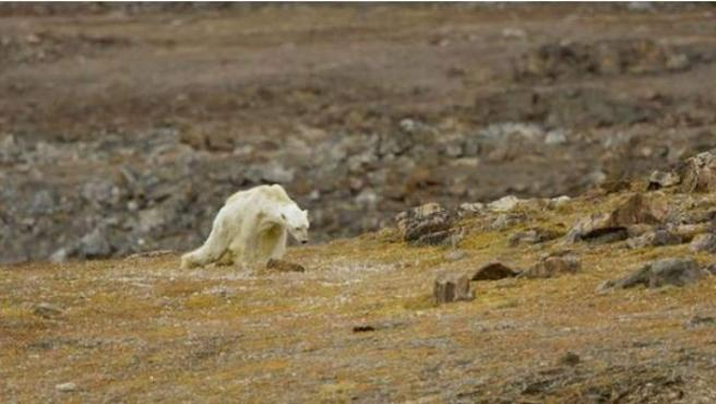 Imagen del oso polar famélico que se ha convertido un símbolo de los estragos del calentamiento global.
