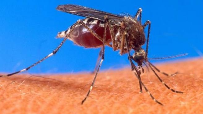 Un ejemplar de mosquito 'Aedes aegypti', que puede ser portador del virus del dengue y de la fiebre amarilla, así como de otras enfermedades, como la fiebre de Zika y el Virus Mayaro.