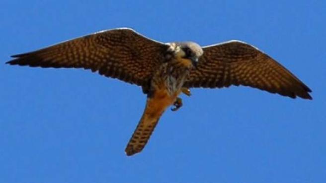 Un halcón en una imagen de archivo.