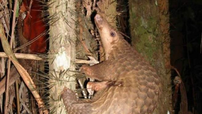 Imagen de un pangolín en un árbol.