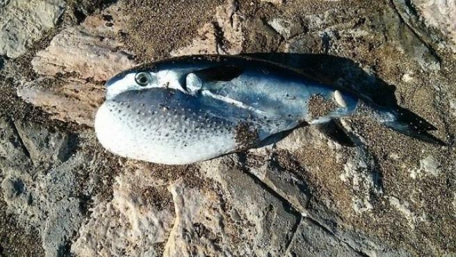 El pez globo Lagocephalus lagocephalus ha proliferado en las Islas Canarias