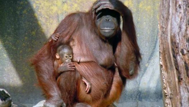 Un orangután de Borneo, en una imagen de archivo.