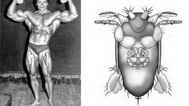 Combo de fotografías cedidas donde se aprecia una imagen del actor y político Arnold Schwarzenegger, junto a un dibujo de la mosca Megapropodiphora Arnoldi, que gracias al entomólogo Brian Brown, del Museo de Historia Natural de Los Ángeles, lleva el nombre del famoso actor.