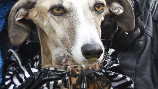 Un perro, llevado por su dueña en una protesta en Madrid contra el maltrato a los canes de caza.