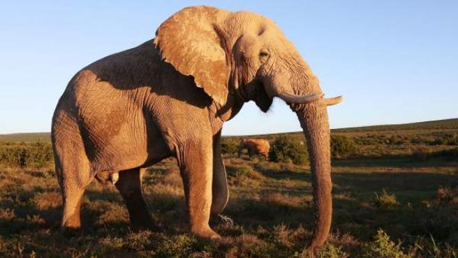 Un ejemplar de elefante africano.