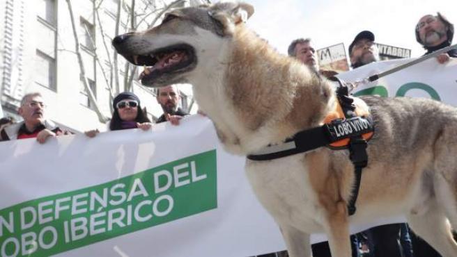 Manifestación convocada por las organizaciones Lobo Marley, Equo, Ecologistas en Acción, WWF y la Alianza Europea para la Conservación del Lobo.