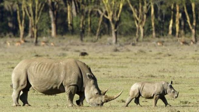 Rinocerontes blancos en en Parque Nacional Nakuru, Kenia.