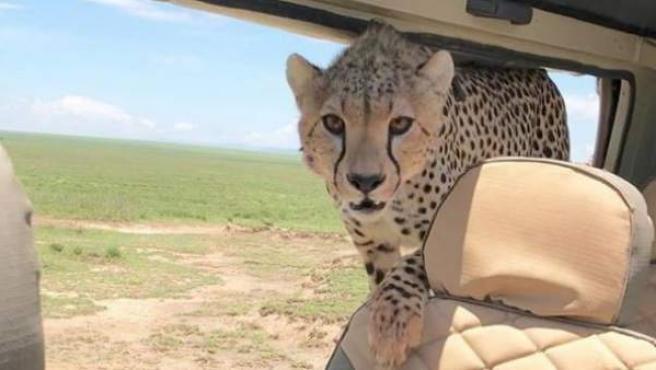 El guepardo se metió dentro del coche y comenzó a morder el apoyacabezas del asiento trasero.