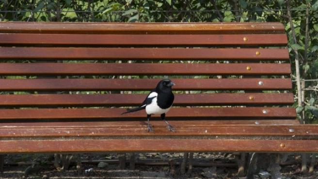 Ejemplar de urraca en un banco del Parque del Retiro.