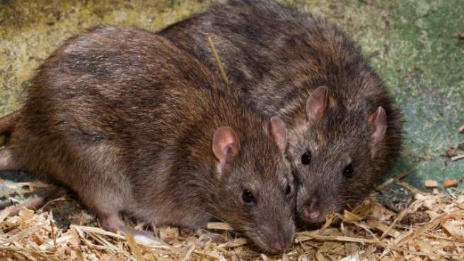 Imagen de archivo de dos ratas.