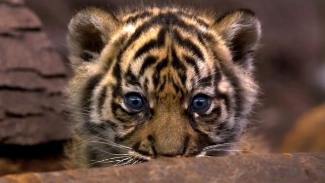 Cachorro de tigre.