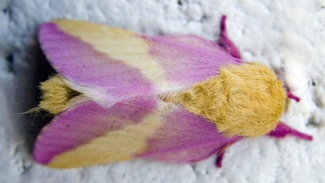 Mariposa rosada del arce.