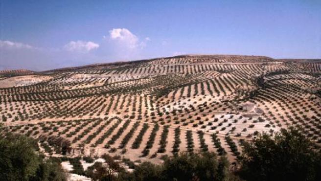Olivos en Andalucía