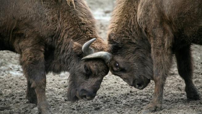 Dos ejemplares de bisonte europeo luchando.