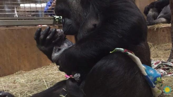 Imagen del parto de la gorila Calaya, que dio a luz el pasado 15 de abril a Moke.