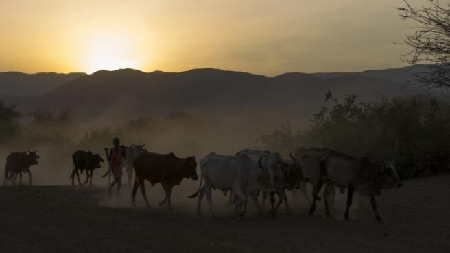 Un rebaño de vacas masái en Kenia.