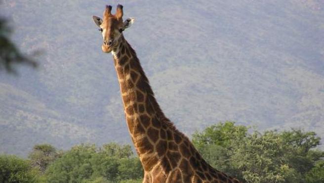 Imagen de una jirafa en Sudáfrica.