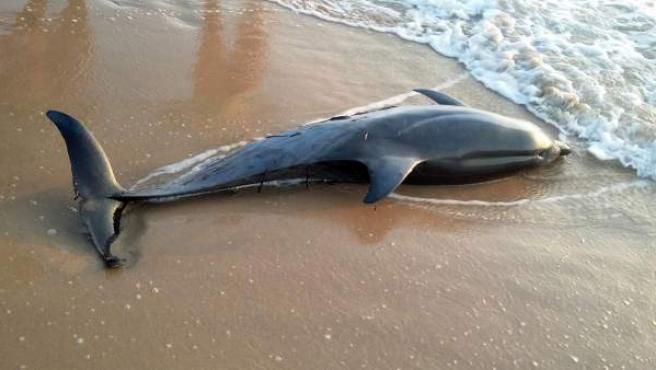 La sobrepesca en las costas del Mediterráneo comienza a detectarse como una de las causas del varamiento anual de los cetáceos en el litoral.