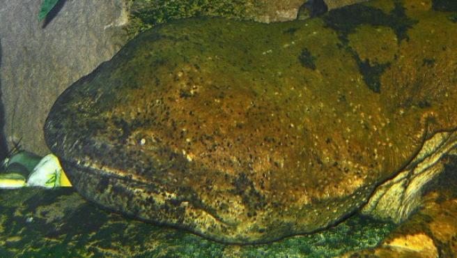 Ejemplar de salamandra china, el anfibio más grande del mundo.